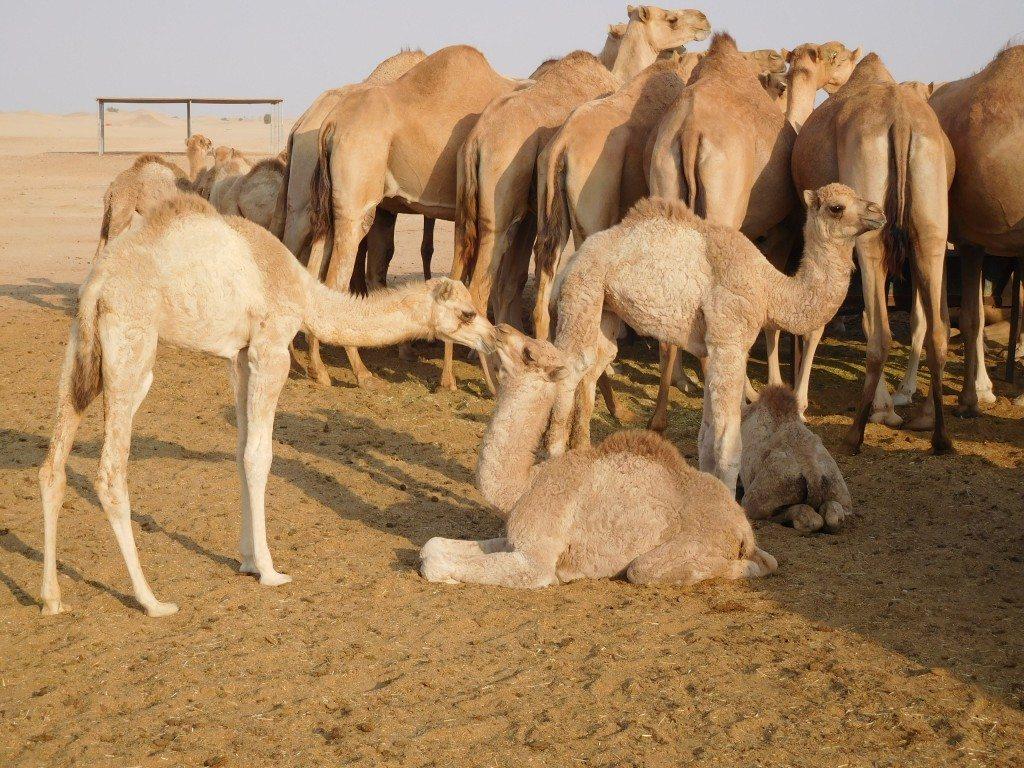 Baby camel kisses! Awww...