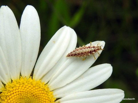 This is the larvae of the green lacewing. Often, the larva of an insect looks much different (& perhaps scarier) than it's adult form. These larvae often cover themself in debri as they wait for prey, usually an aphid, to come by.