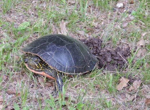 This female has chosen a grassy spot in the shade of the trees for her eggs.