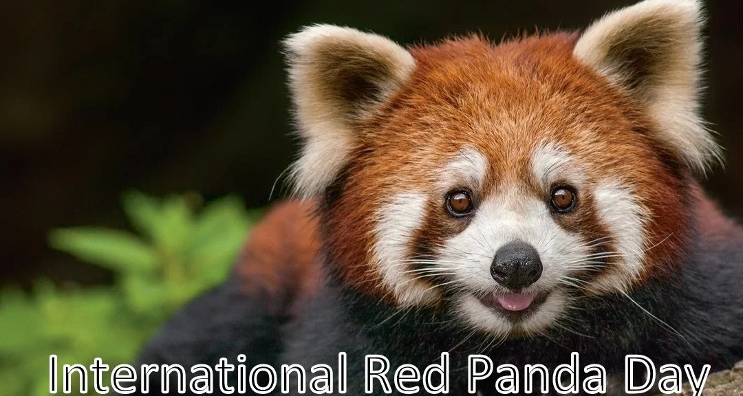 International Red Panda Day – September 19, 2020