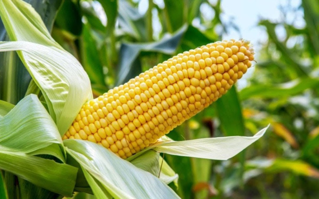 National Maize Day
