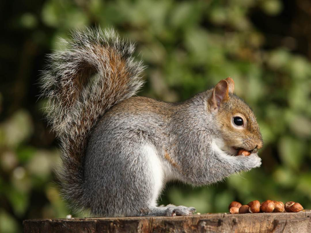 National Squirrel Appreciation Day 2018 - January 21