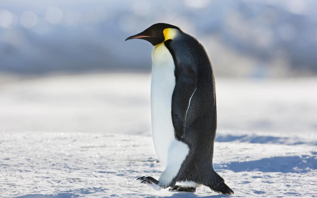 Penguin Awareness Day – January 20, 2021