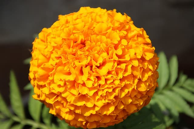 5 Mexican marigold are good companions
