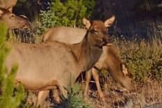 herd-elk-wayne-d-lewis-dsc_1367