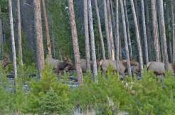 herd-elk-wayne-d-lewis-dsc_1439