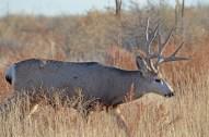 mule-deer-buck-wayne-d-lewis-dsc_0133