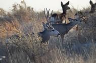 mule-deer-herd-wayne-d-lewis-dsc_0152