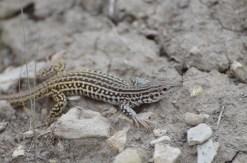 Checkered-whiptail-lizard-Wayne-D-Lewis-DSC_0327