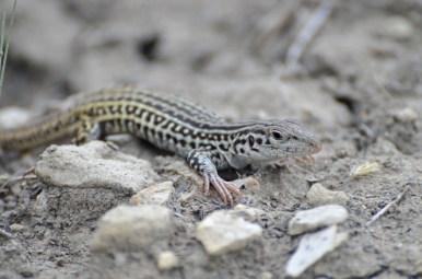 Checkered-whiptail-lizard-Wayne-D-Lewis-DSC_0331
