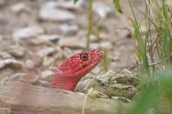 Red-Coachwhip-snake-Wayne-D-Lewis-DSC_0264