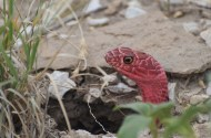 Red-coachwhip-snake-Wayne-D-Lewis-DSC_0289