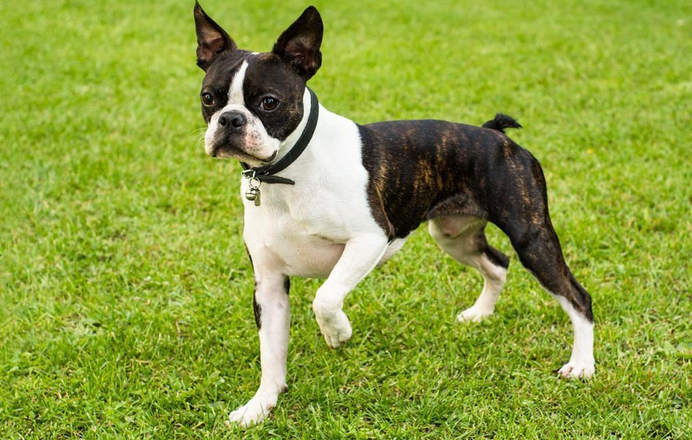 Boston Terrier Breed