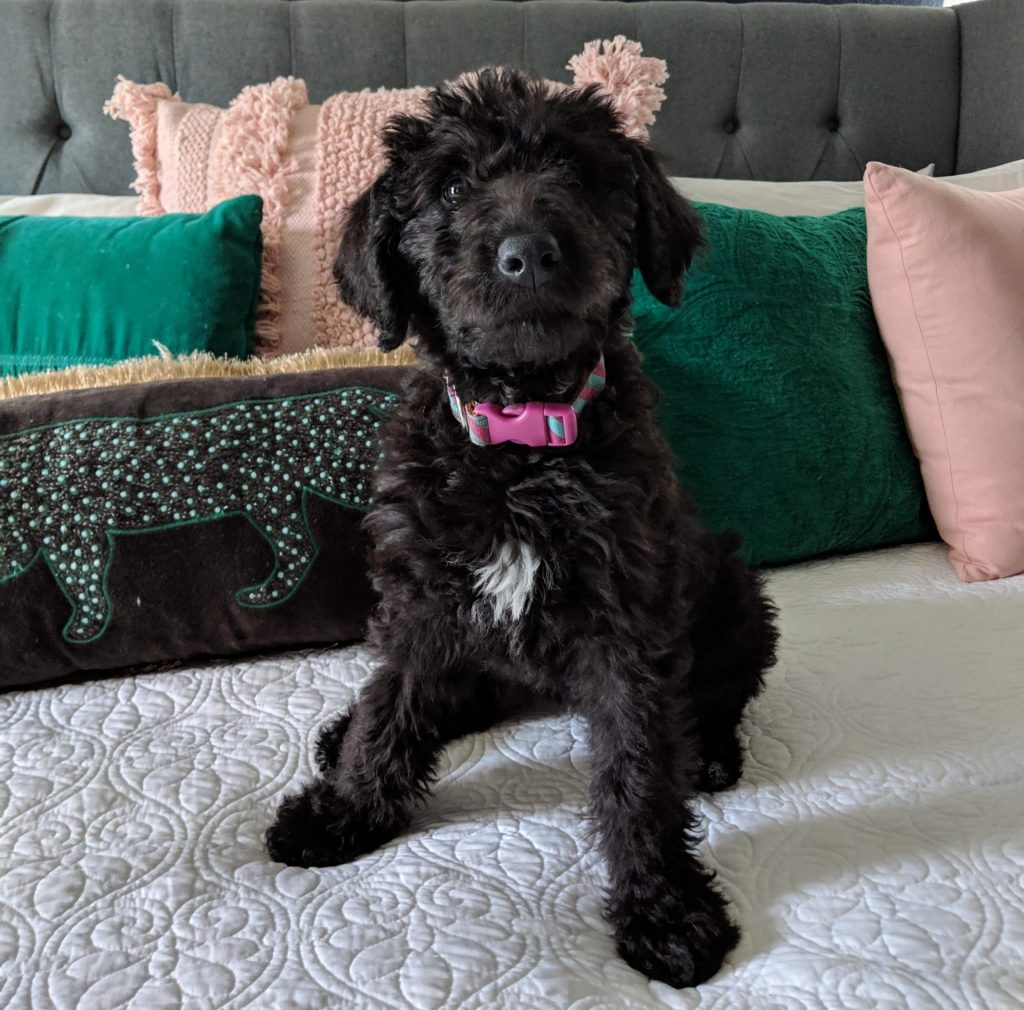 The Airedoodle Terrier Mix
