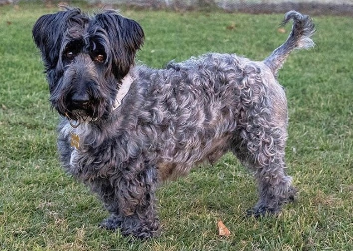 The Scottese Terrier Mix