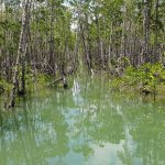 A Philippine community sees life-saving payoffs from restoring its mangroves