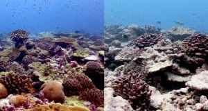 Certain corals can recover from bleaching during prolonged heatwaves