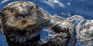 San Francisco Bay could make the perfect sea otter habitat
