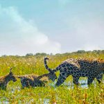 Big cat comeback: Jaguars prowl Argentina's Iberá Wetlands after 70 years