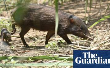 Pig in clover: how the world's smallest wild hog was saved from extinction