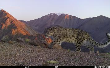 Exciting new survey shows stable snow leopard population in Mongolia