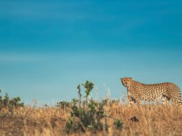 Cheetahs May Return To India After Over 70 Years