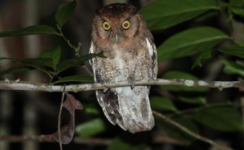 Two new species of endangered screech owls identified from Brazil