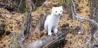 Scientists discover hybrid ermine species isolated in Haida Gwaii for 300,000 years