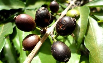 Climate Change Threatens Coffee – But We've Found a Wild Species That Could Help Save Your Morning Brew