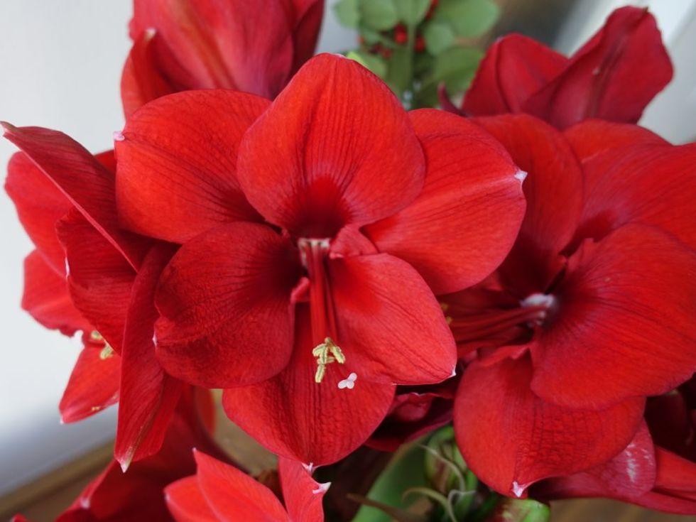 HappyFace313-Amaryllis-flower-of-the-day
