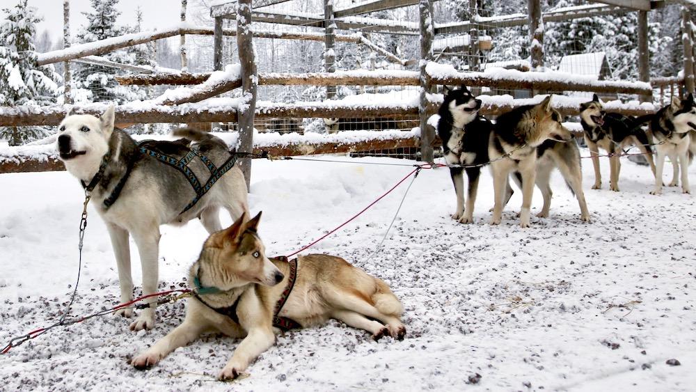 Arctic Husky Adventure, 3 hours 25. Jan