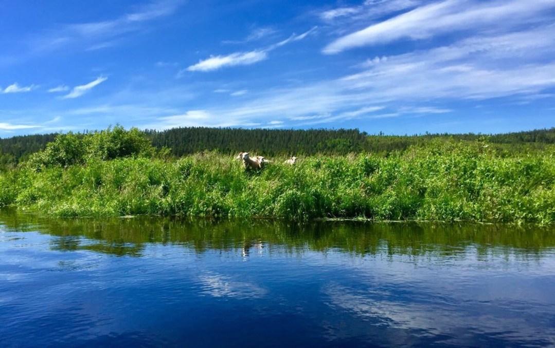 Happy-Fox-Fishing-sheeps-ounasjoki