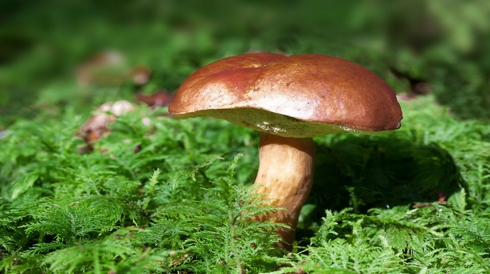 Happy-Fox-Goods-of-the-Forest-mushroom