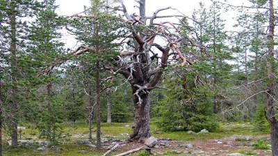 Happy-Fox-Magic-of-the-Forest-crazy-pine kopio