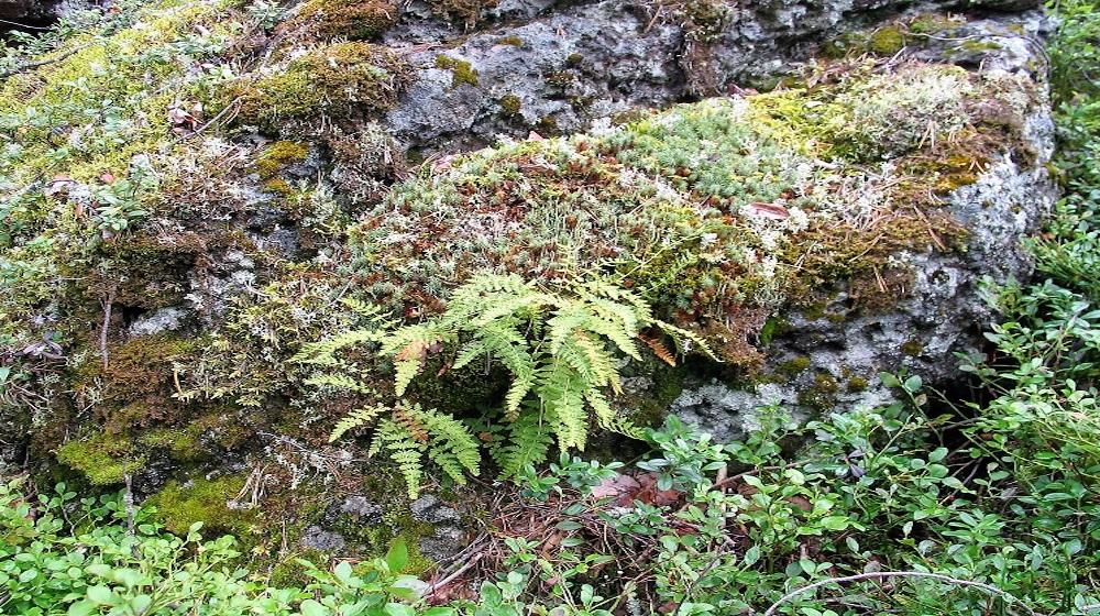 Happy-Fox-Magic-of-the-Forest-fern