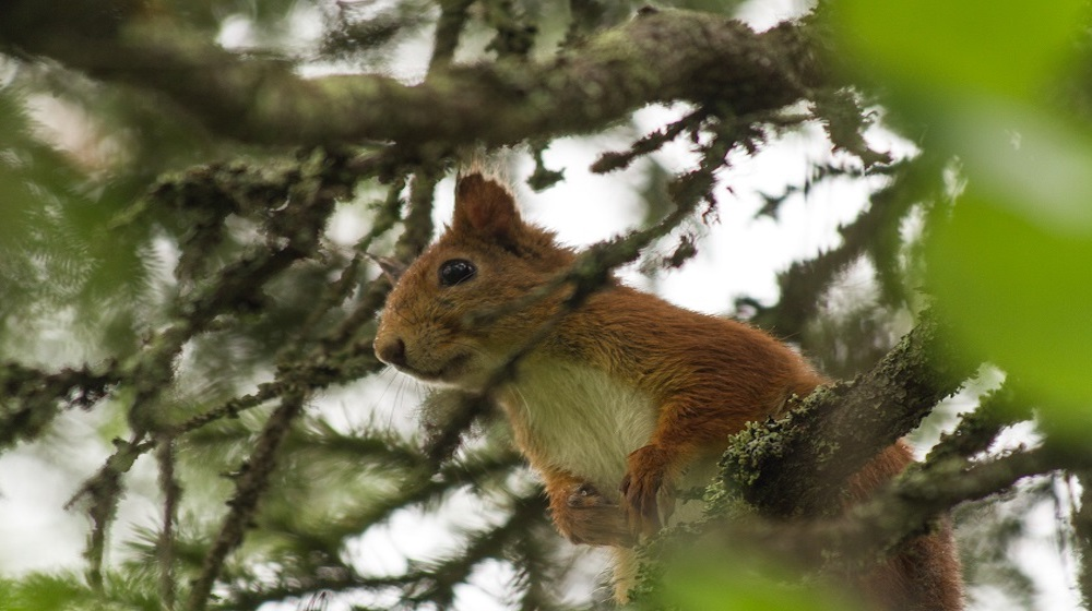 Happy-Fox-Magic-of-the-Forest-squirrel-on-pine