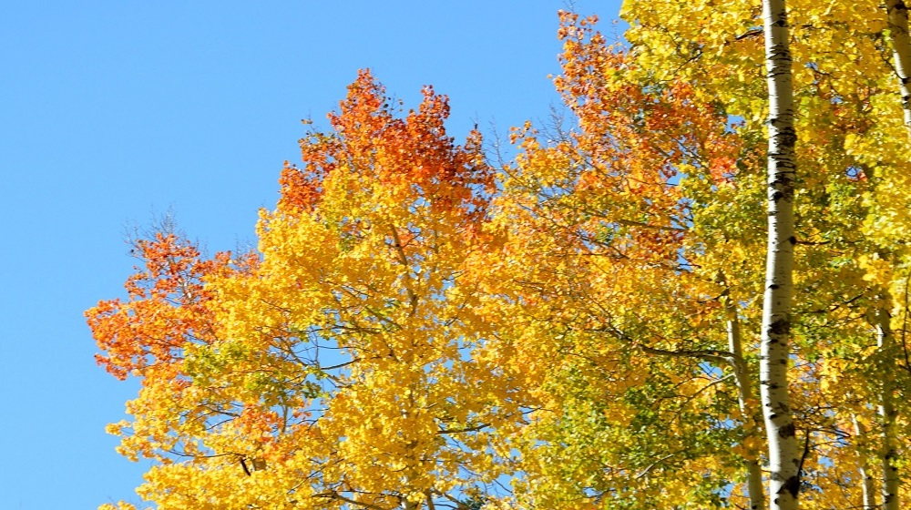 Happy-Fox-Fall-Colors-and-Landscapes-fall-colors-birch