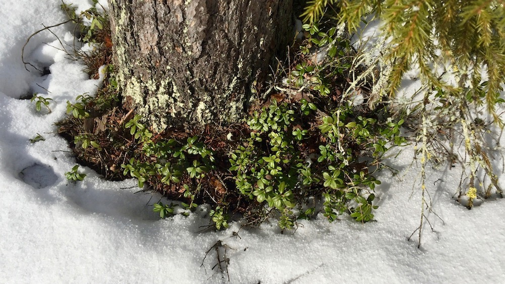 Happy-Fox-Arctic-Nature-Awakens-snowy-twig