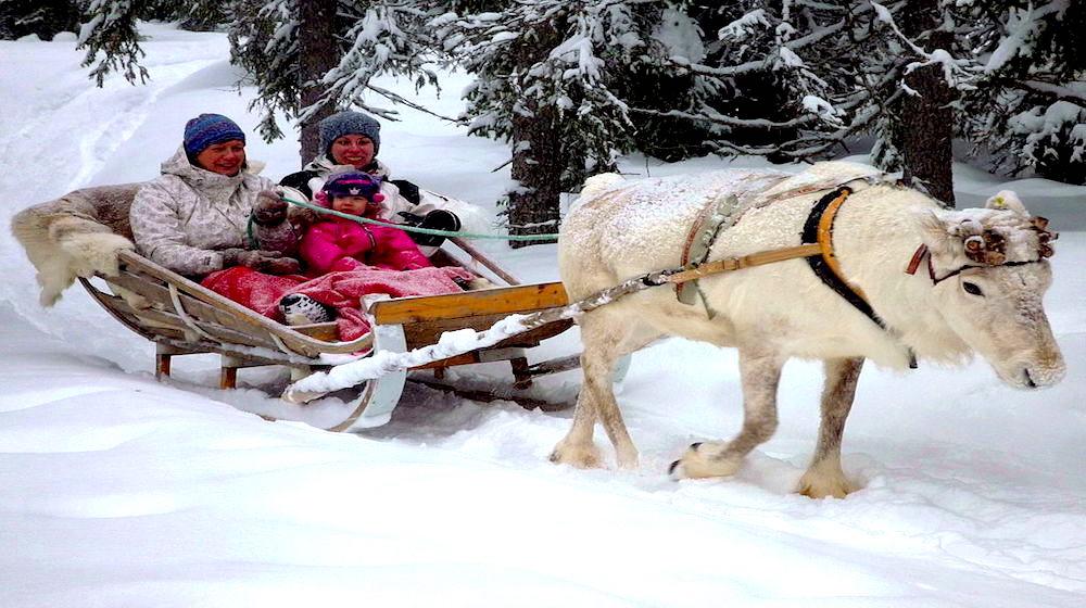 Happy-Fox-Arctic-reindeer-adventure-white-reindeer-sled