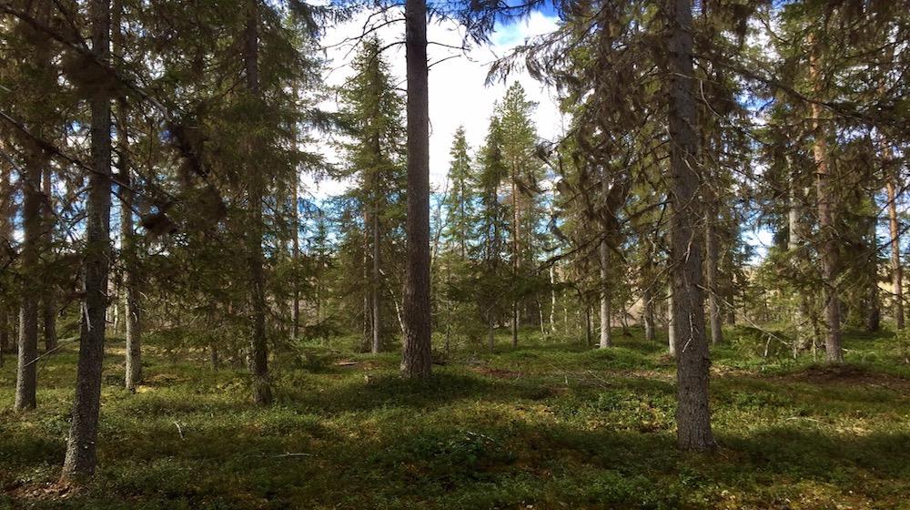 Happy-Fox-Finnish-Picnic-bruce-forest