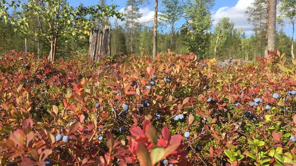 Happy-Fox-Finnish-Picnic-by-Open-Fire-bog-bilberry-p