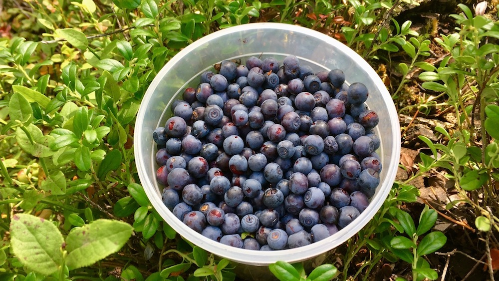 Happy-Fox-Finnish-Picnic-by-Open-Fire-wild-blueberries-p