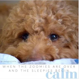 close-up red goldendoodle dog's face with positivity quote