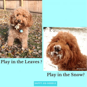 Red goldendoodle with leaves on face and doodle with snow on face