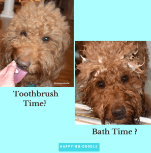 Red goldendoodle dog getting teeth brushed and doodle dog with shampoo in hair