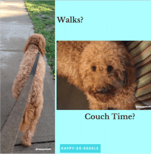 Photo of red goldendoodle dog on leash and photo of dog on couch