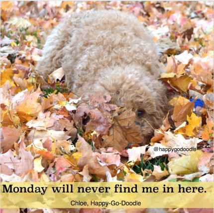 Red goldendoodle dog hiding in fall leaves with original writing by J.Carl about Mondays