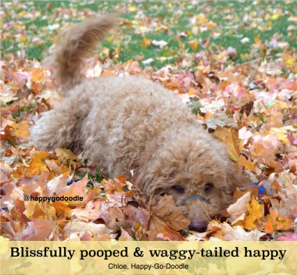 Red goldendoodle dog wagging tail and lying in fall leaf pile with original writing about happiness