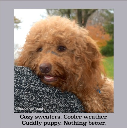 Quotes about fall says Cozy sweater. cooler weather, cuddly puppy nothing better written by Jenise Carl and Close-up red goldendoodle dog snuggled on grey sweater and autumn landscape in background
