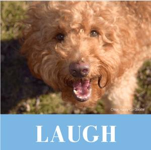Red goldendoodle dog with mouth open and word laugh